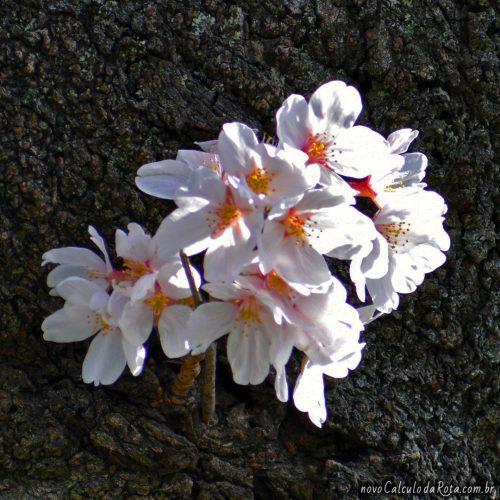 Uma flor de Sakura em Ueno com mais detalhes